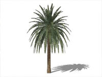 Canary Island Palm in Sketchup