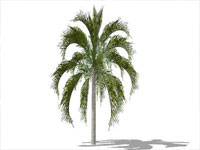 Queen Palm in Sketchup