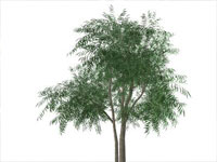 Willow Tree in Sketchup
